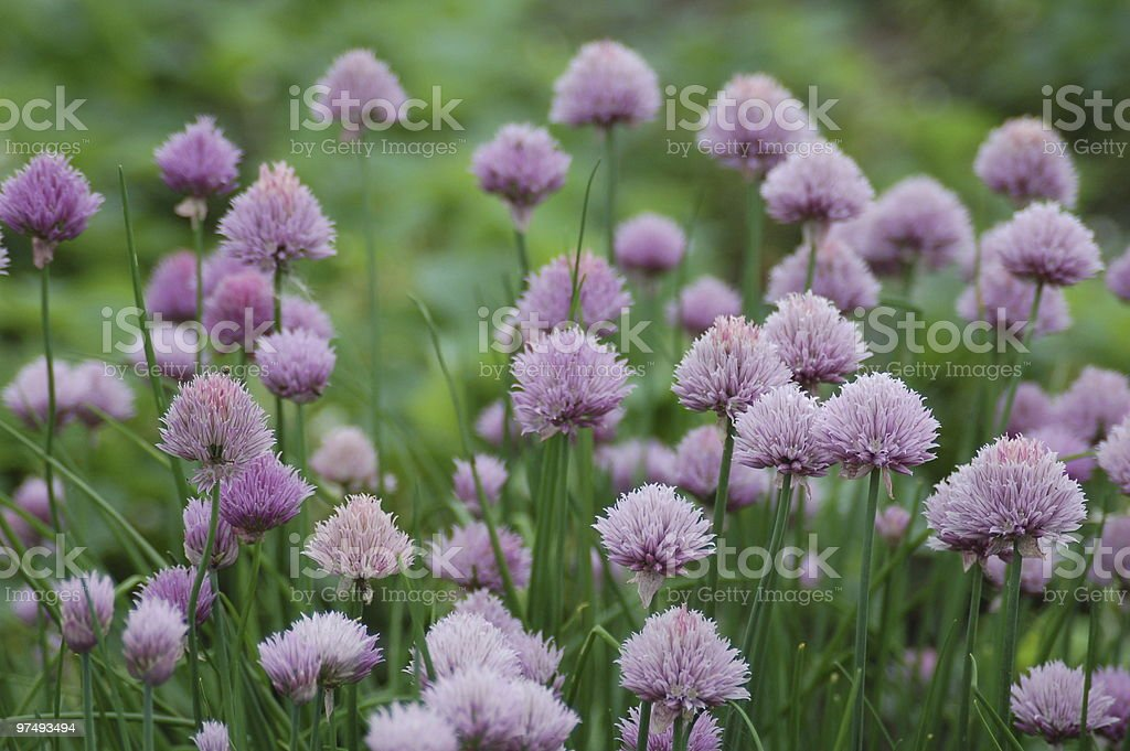 Lots of flowers in the field royalty-free stock photo