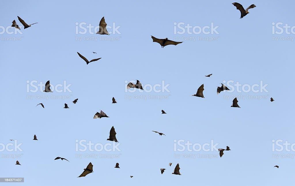 Lots of flying fox stock photo