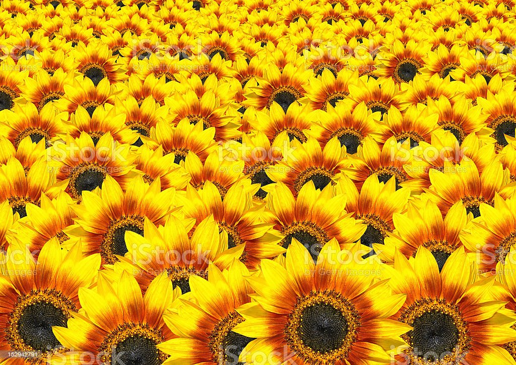 Lots of Fresh Sunflowers - Sun Flower Background stock photo