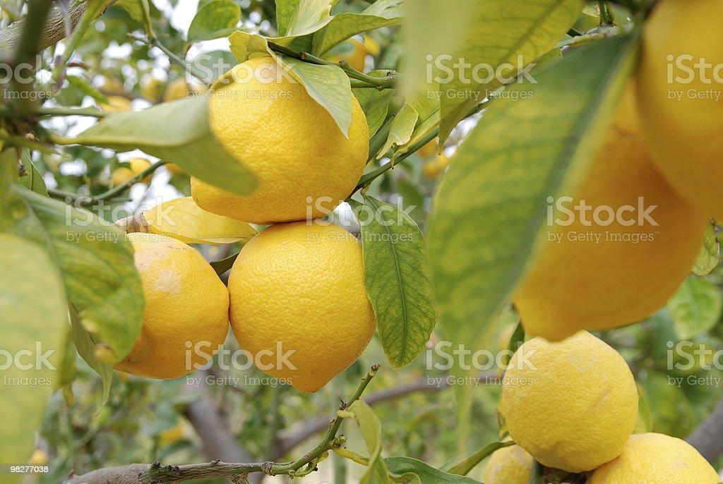 Un sacco di limoni freschi gialli su albero in crescita foto stock royalty-free