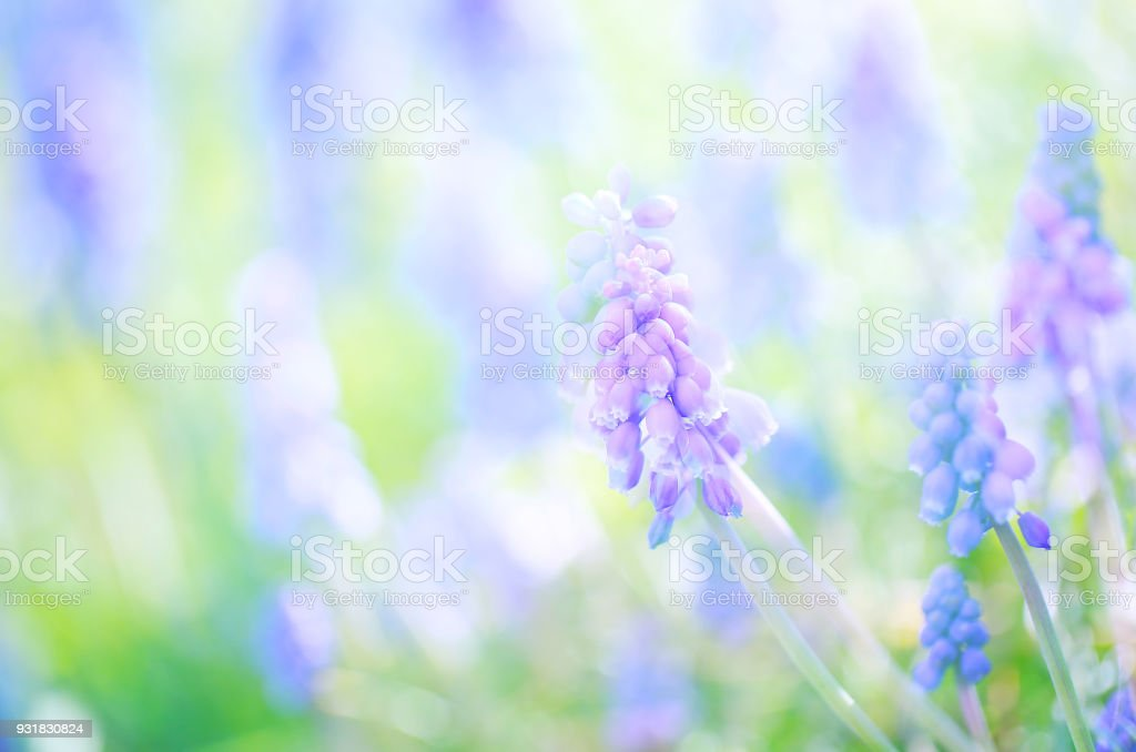 Lots of full bloom Grape hyacinth(Muscari) purple flowers blowing in the wind, blurred green Spring garden/field background, multiple exposure close up/Macro horizontal image 1 stock photo