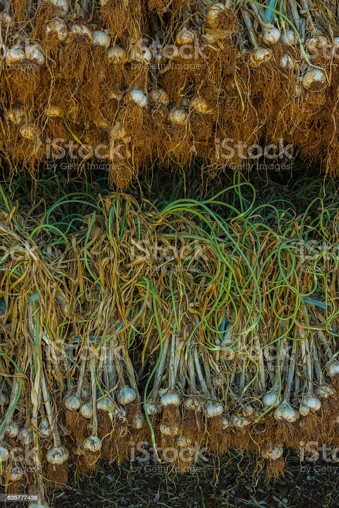 Lots of Garlic drying stock photo