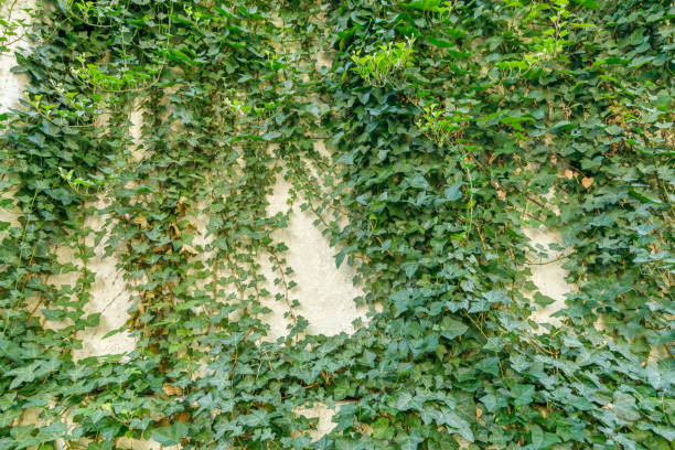 Lots of ivy entwined in the wall stock photo