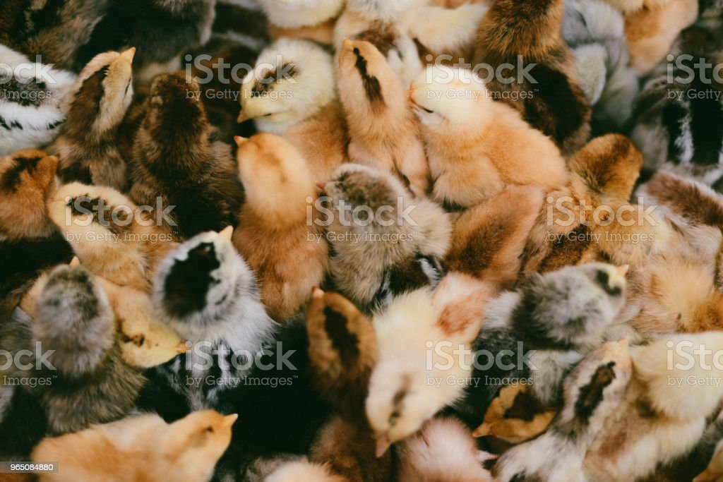 lots of little chicks in a box at the agricultural farm zbiór zdjęć royalty-free