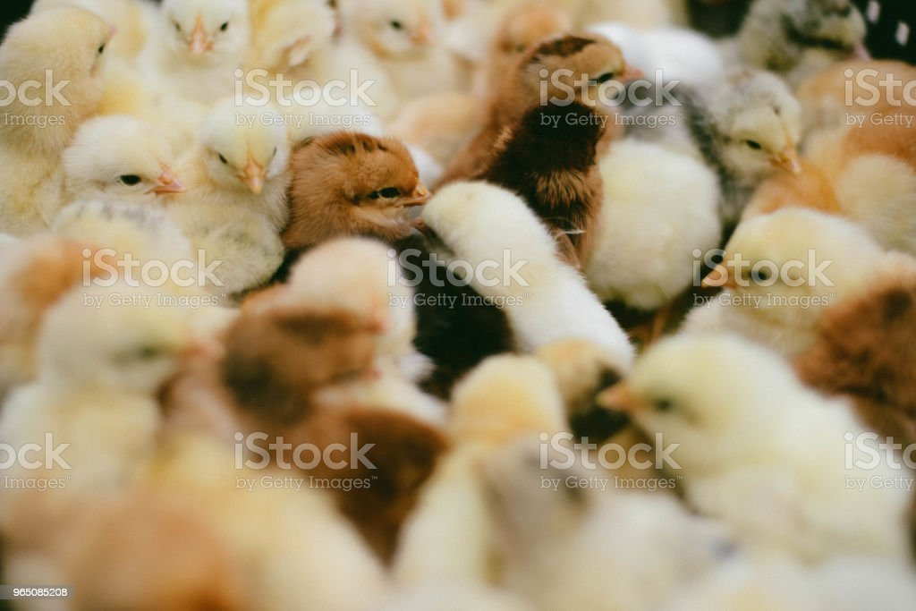 lots of little chicks in a box at the agricultural farm royalty-free stock photo