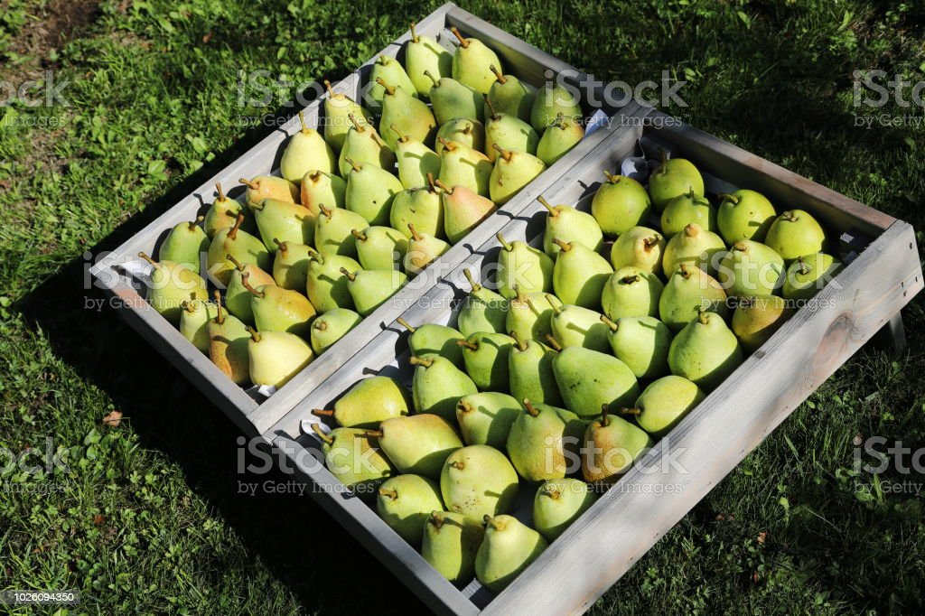 Lots of pears in fruit box stock photo