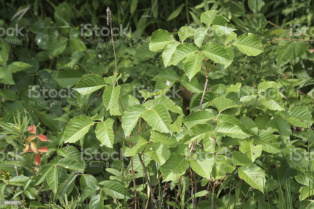 Lots of Poison Ivy royalty-free stock photo