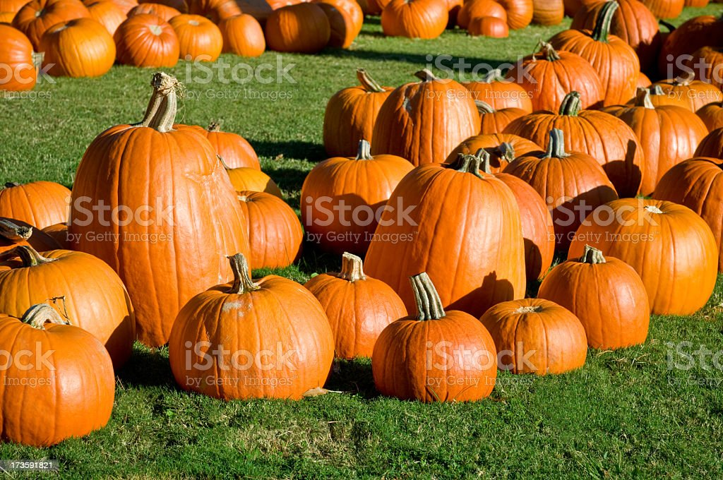 Lots of pumpkins on green grass royalty-free stock photo