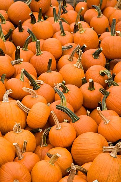 lots of pumpkins stock photo
