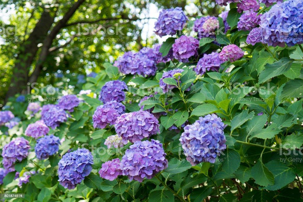紫のアジサイがたくさん ストックフォト