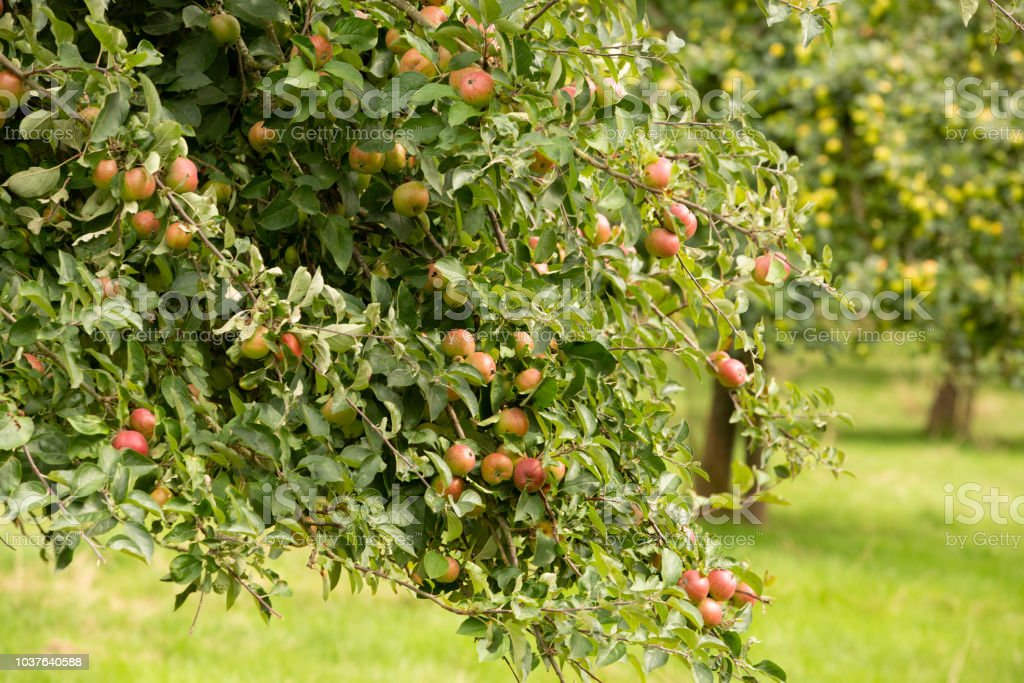 Lots of red apples in a Herefordshire Orchard stock photo