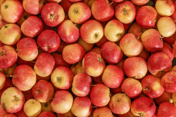 lots of red apples. natural condition.t op view. - picking fruit imagens e fotografias de stock