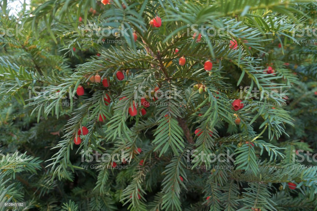 Lots of red berries on the branch of taxus baccata stock photo
