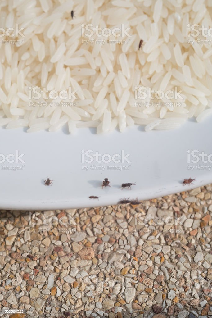 Lots of Rice Weevil Bugs Hiding in Rice, destroyed rice stock photo