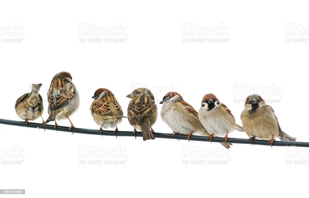 lots of small birds sparrows sitting on the wires on the white isolated background stock photo