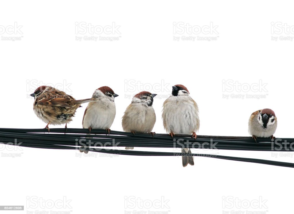 Lots Of Small Birds Sparrows Sitting On The Wires On The White ...