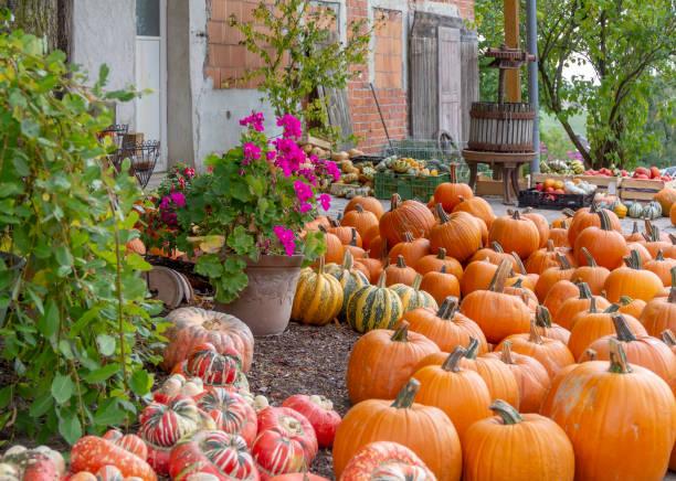 lots of various pumpkins stock photo