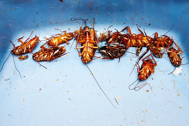 Lots of very dead cockroaches stock photo