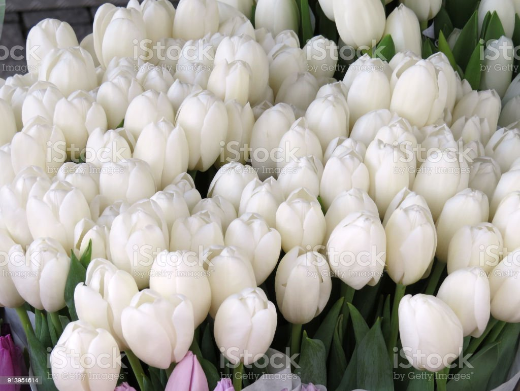 Lots of white tulips stock photo