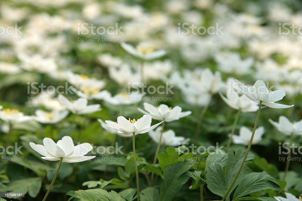 Lots of windflowers - Anemone Nemorosa stock photo