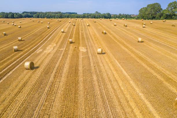 viele gelbe Strohballen liegen auf einem Feld – Foto