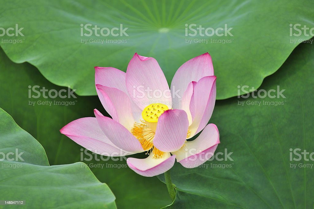 lotus and its seeds royalty-free stock photo