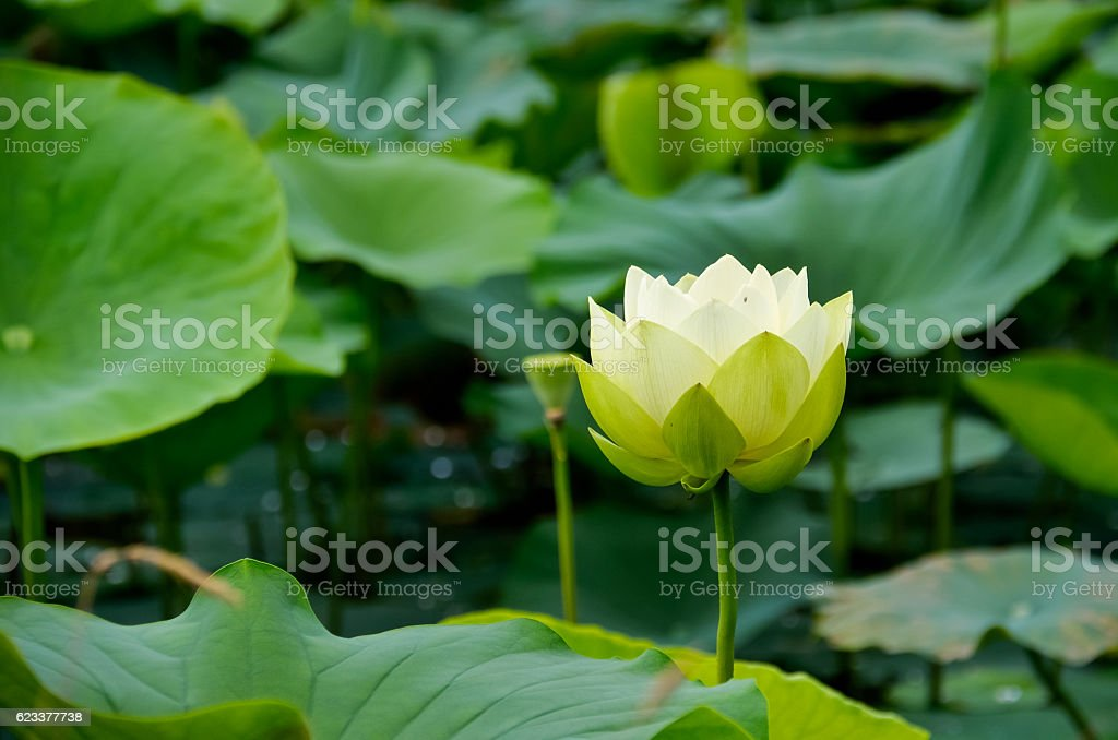 Lotus and water lily flower in a pond stock photo
