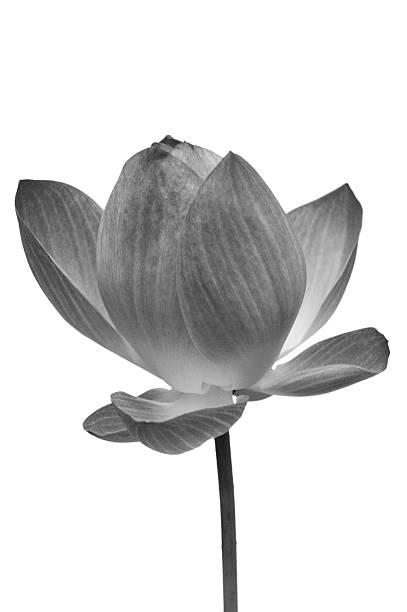 lotus, schwarz und weiß-seerose blume, schneidepfade - lotus symbol stock-fotos und bilder
