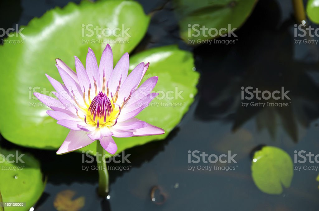 Lotus bloom in the pond stock photo