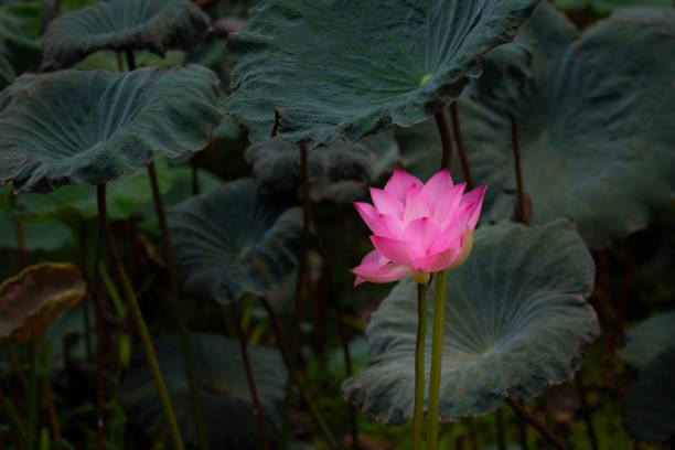 Lotus blüht über dem Wasser schwebend. – Foto