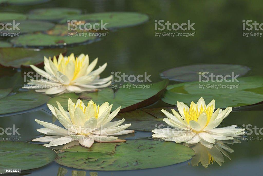lotus blooming royalty-free stock photo