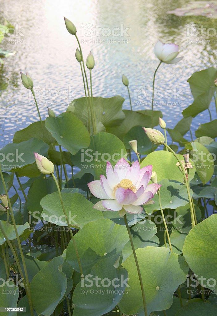 Lotus Blossom II royalty-free stock photo