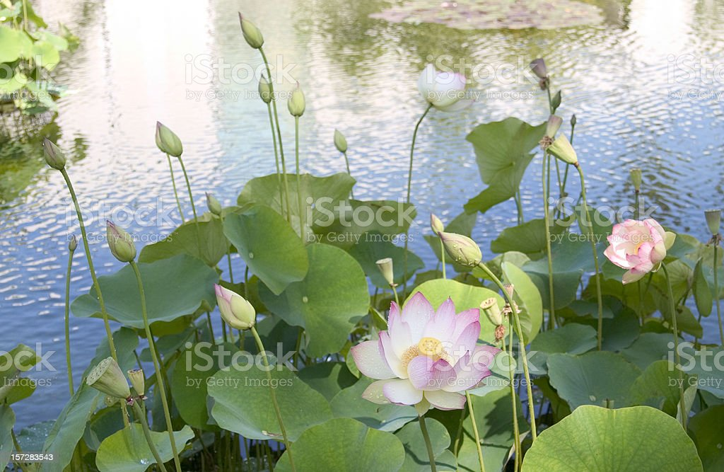 Lotus Blossom III royalty-free stock photo