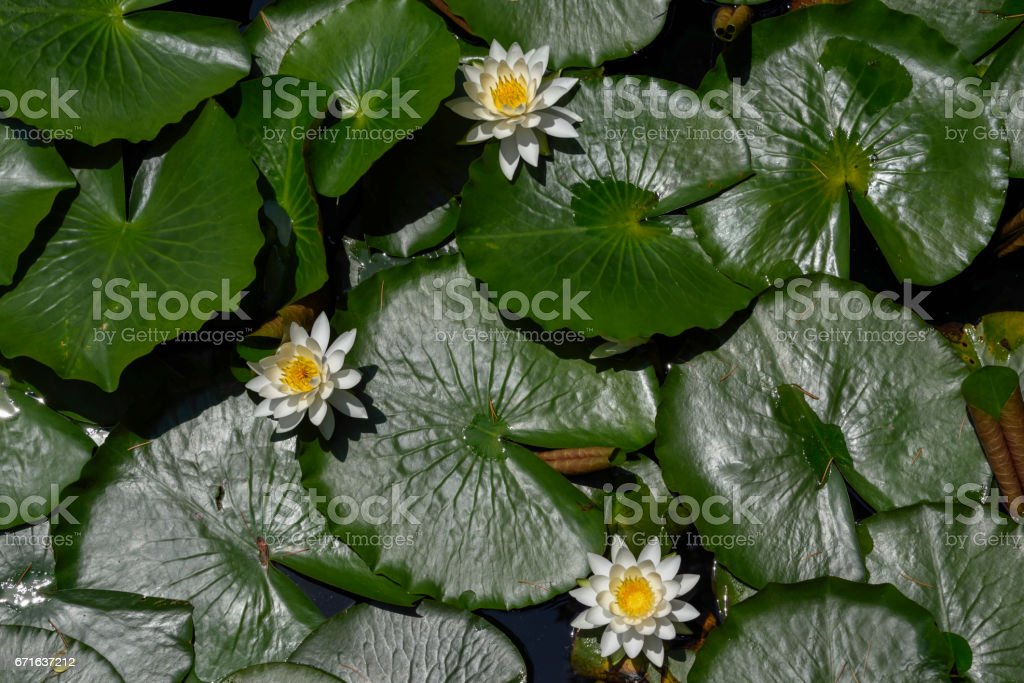 Lotus blossom stock photo