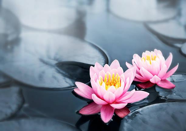 lotus blüten - wasserlilien stock-fotos und bilder