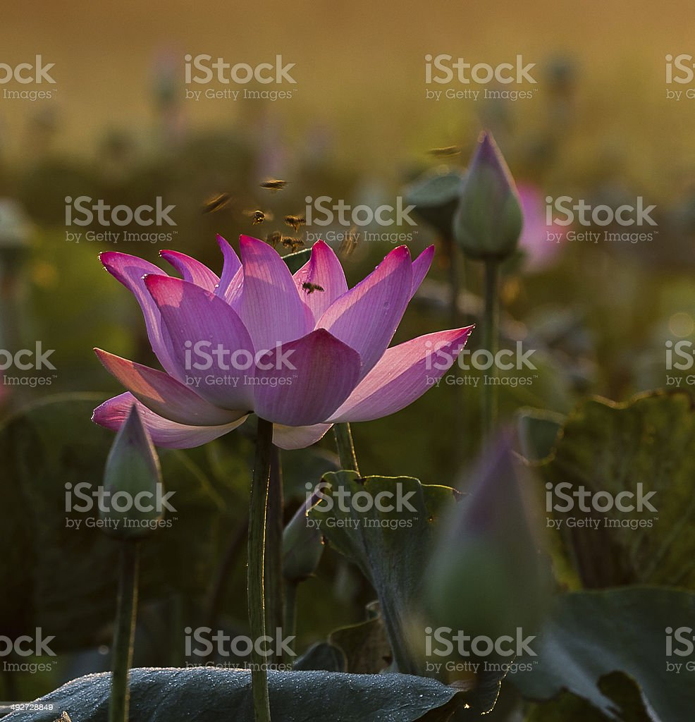 lotus, bud and bees stock photo