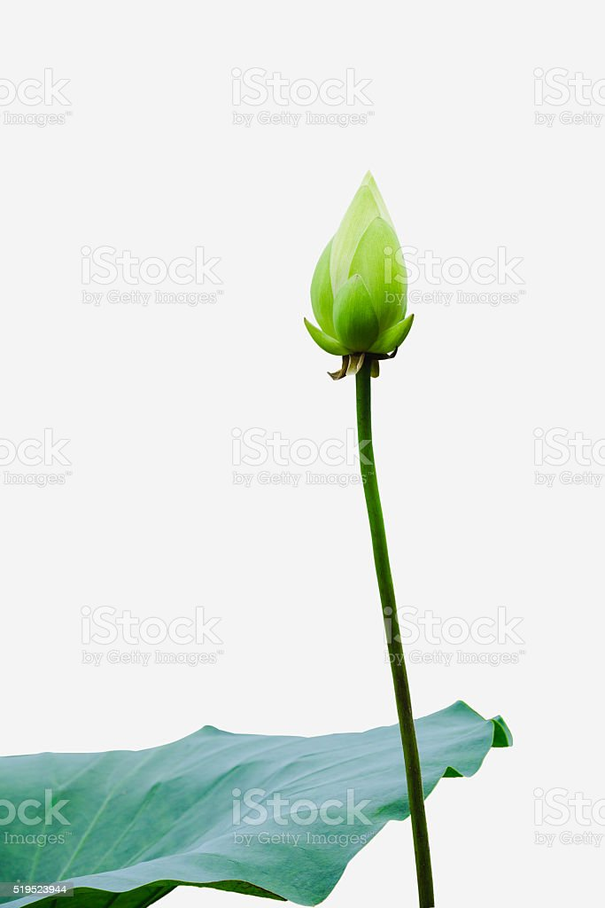 Lotus bud and leaf stock photo
