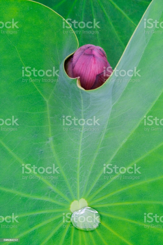 Lotus bud close up royalty-free stock photo