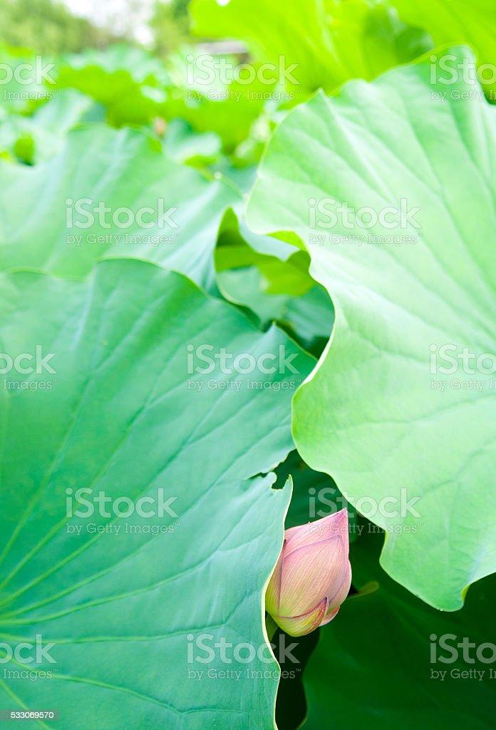 Lotus bud peaking out stock photo