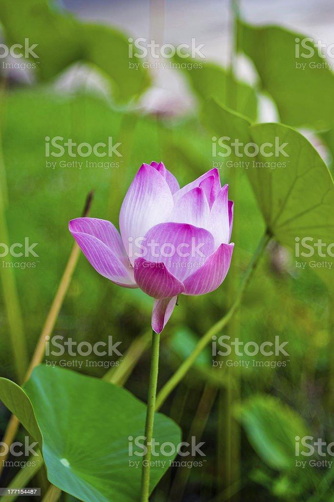 lotus bud. royalty-free stock photo