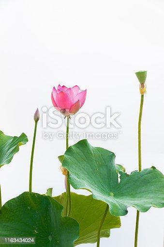 Lotus close-up white background