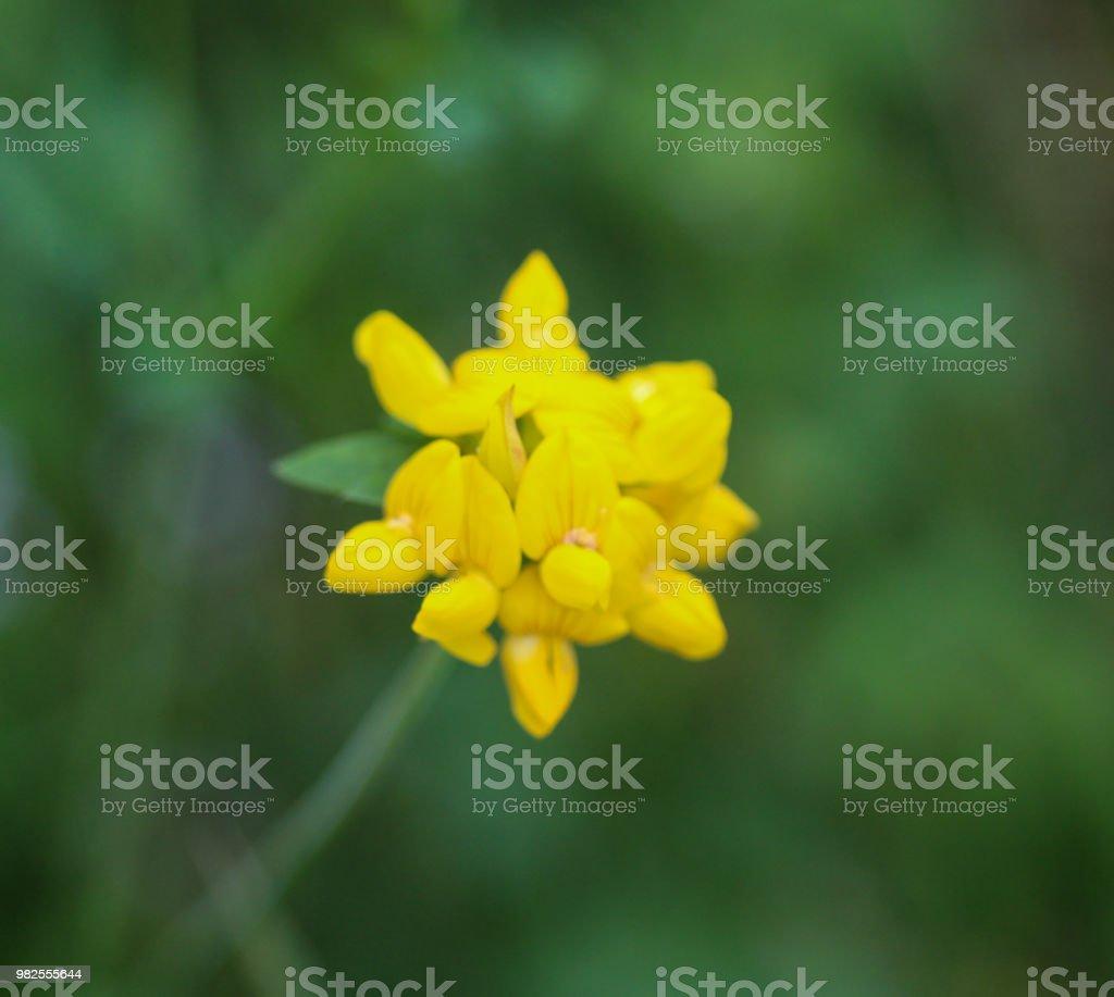 Lotus Corniculatus Flower Common Names Include Common Birds Foot