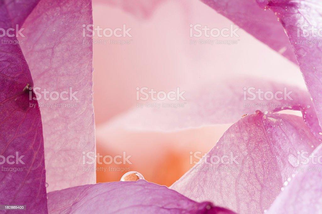 lotus drop royalty-free stock photo