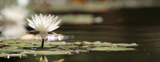 lotus flover auf einem see - wasserlilien stock-fotos und bilder