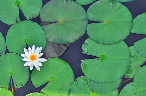 A lotus Flowe leaf A lotus Flowe leaf water lily stock pictures, royalty-free photos & images