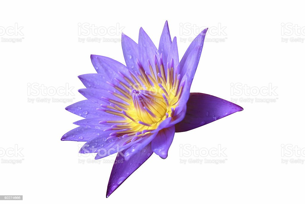 lotus flower 1 royalty-free stock photo