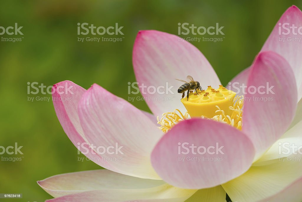 Lotus flower and bee close-up royalty-free stock photo