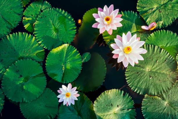 lotusblume und blatt im teichwasser - wasserlilien stock-fotos und bilder