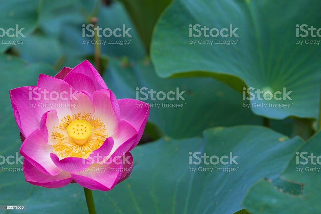 Lotus Flower And Leaves Stock Photo More Pictures Of 2015 Istock
