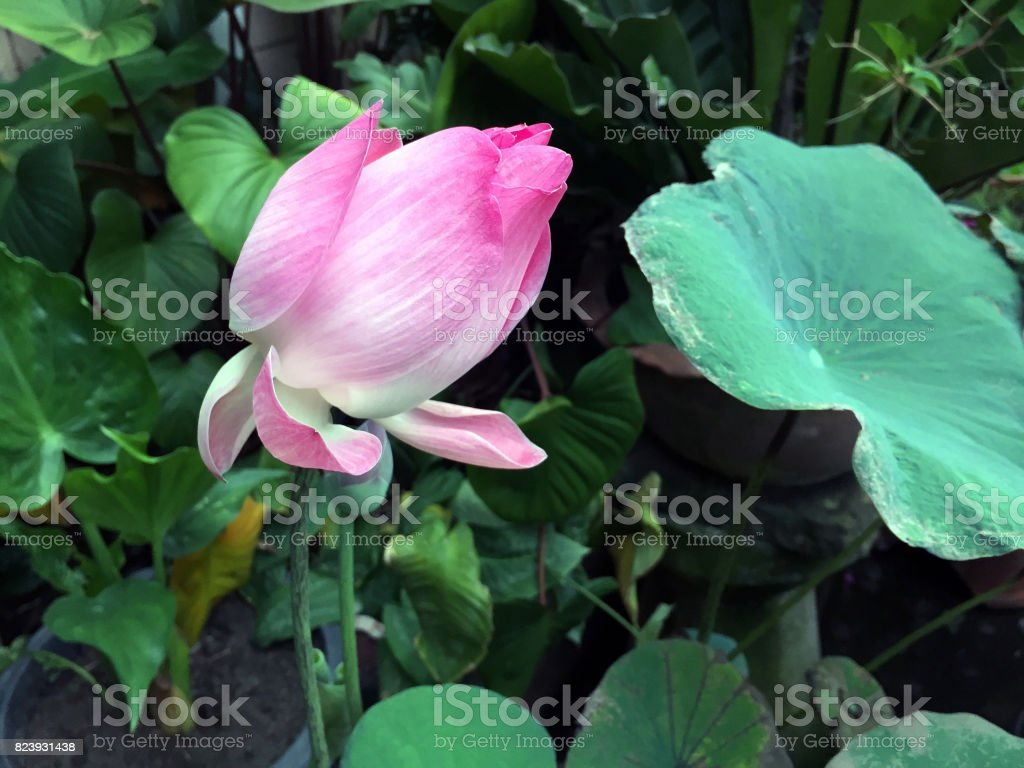 Lotus flower and Lotus flower plant. stock photo